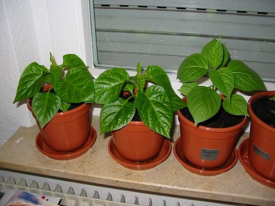 2*Habanero Red Savina, 1*Baumchili rot (v.l.n.r.)