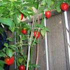 Baumchili rot