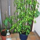 Cayenne, Criolla Sella (v.l.n.r.)