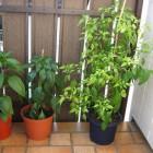 NuMex Ortega, Cayenne, Criolla Sella (v.l.n.r.)