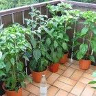 Ring of Fire, Habanero Red Savina, NuMex Ortega, Habanero Red Savina, Scotch Bonnet (v.l.n.r.)