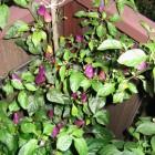 Ecuador Purple