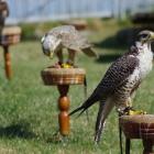 sonntägliche Falkenshow auf der Burg Hohenneuffen
