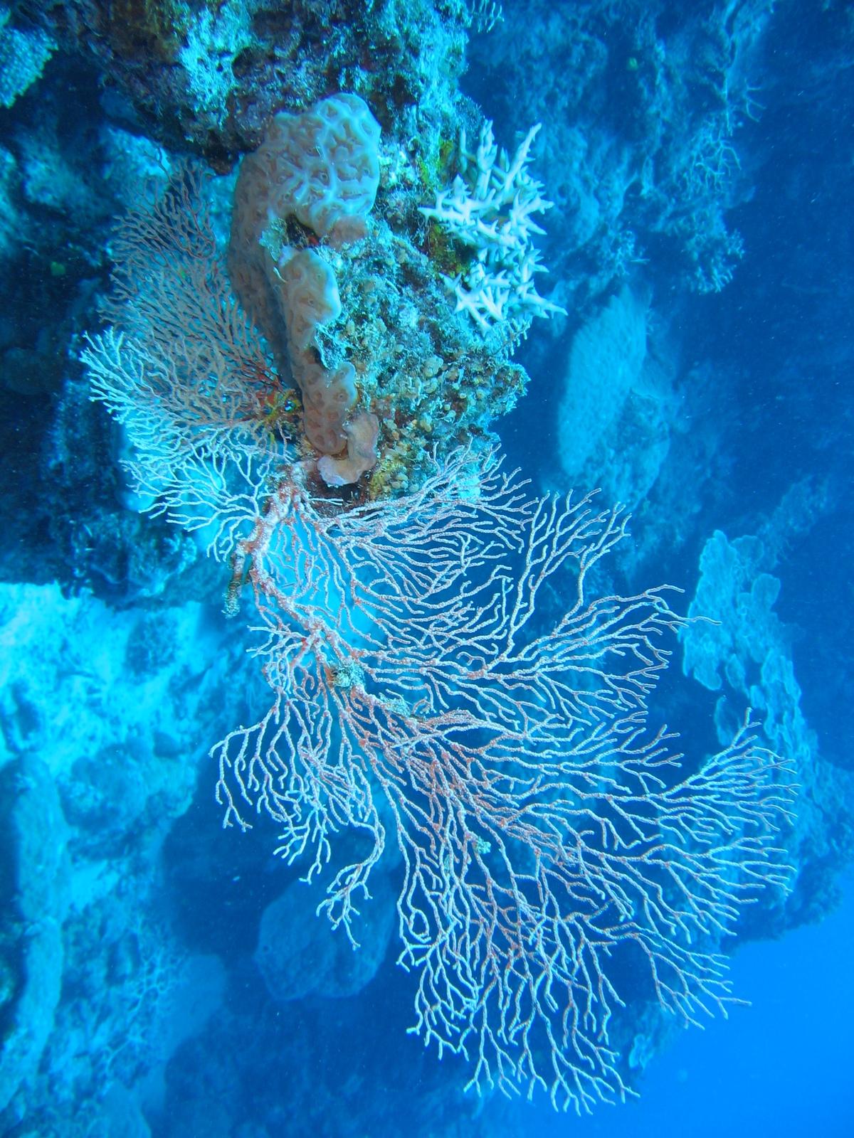Agincourt Ribbon Reef - Gorgonien