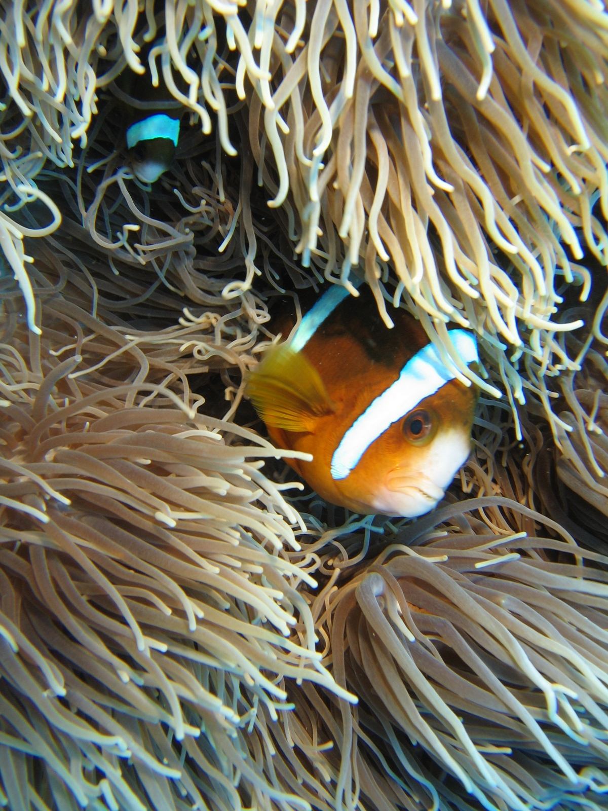Agincourt Ribbon Reef - Clownsfisch in Anemone