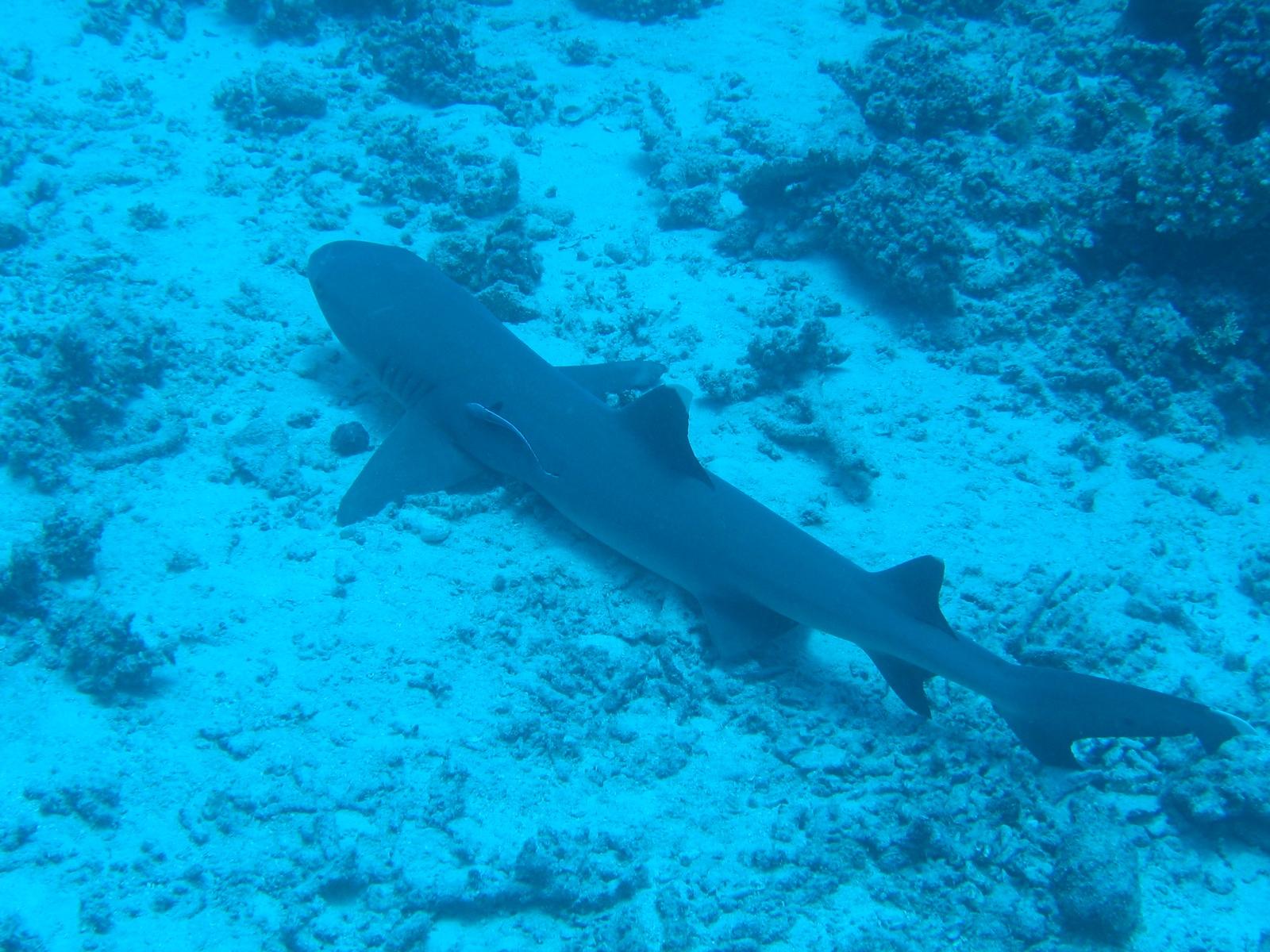 Agincourt Ribbon Reef - Weißspitzenriffhai