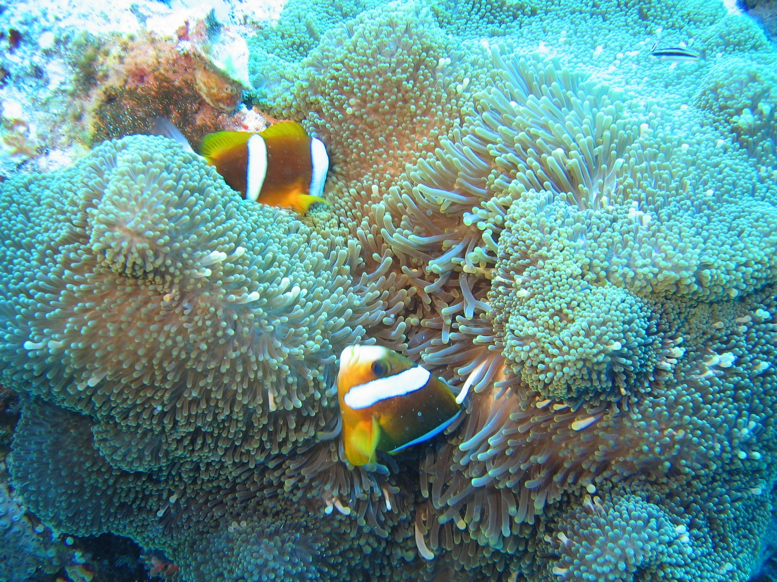 Agincourt Ribbon Reef - Clownsfische in Anemone