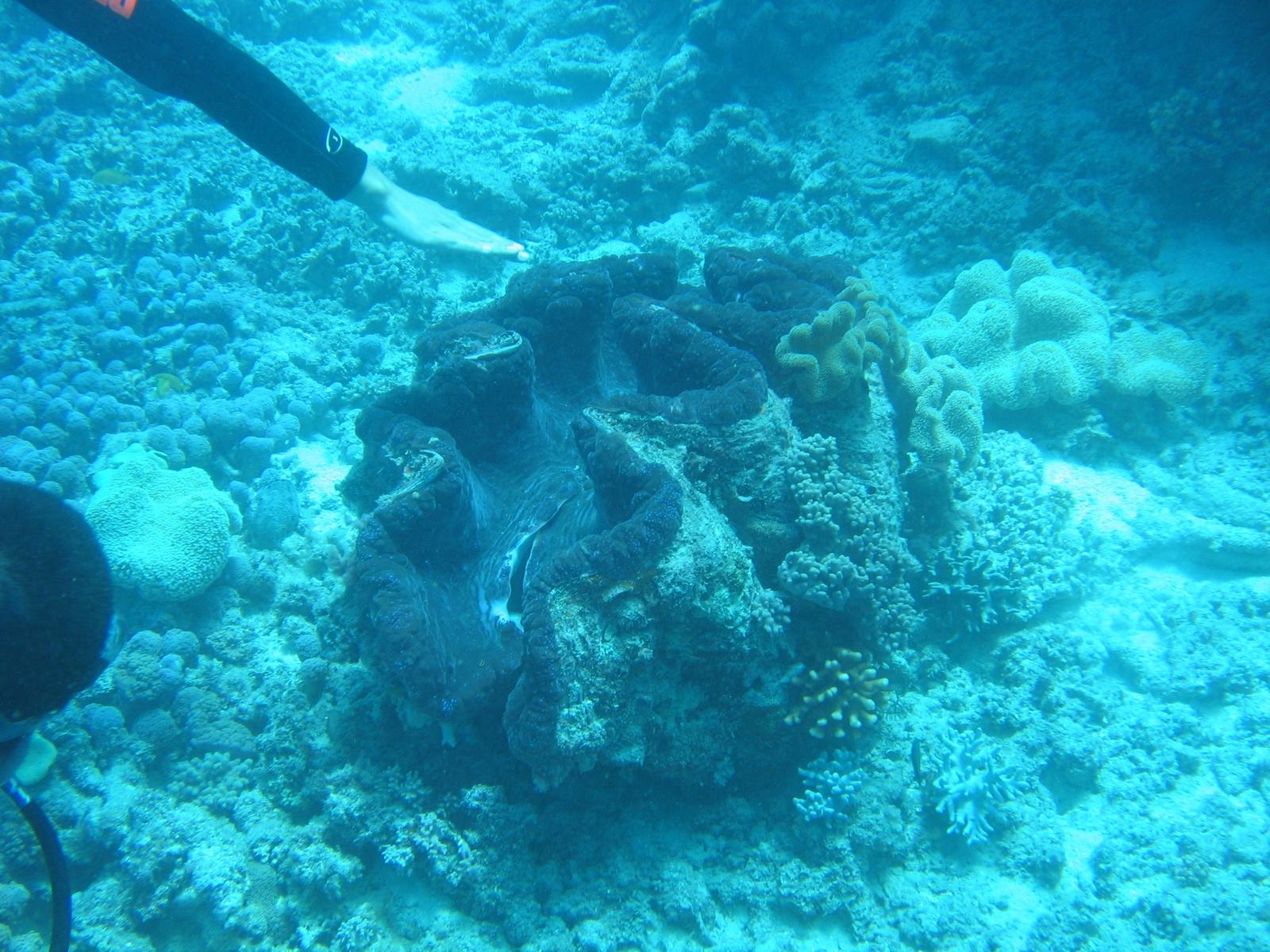 Moore Reef - Mördermuschel