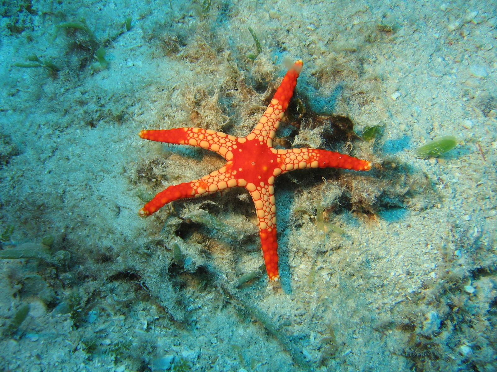 Moore Reef - roter Seestern