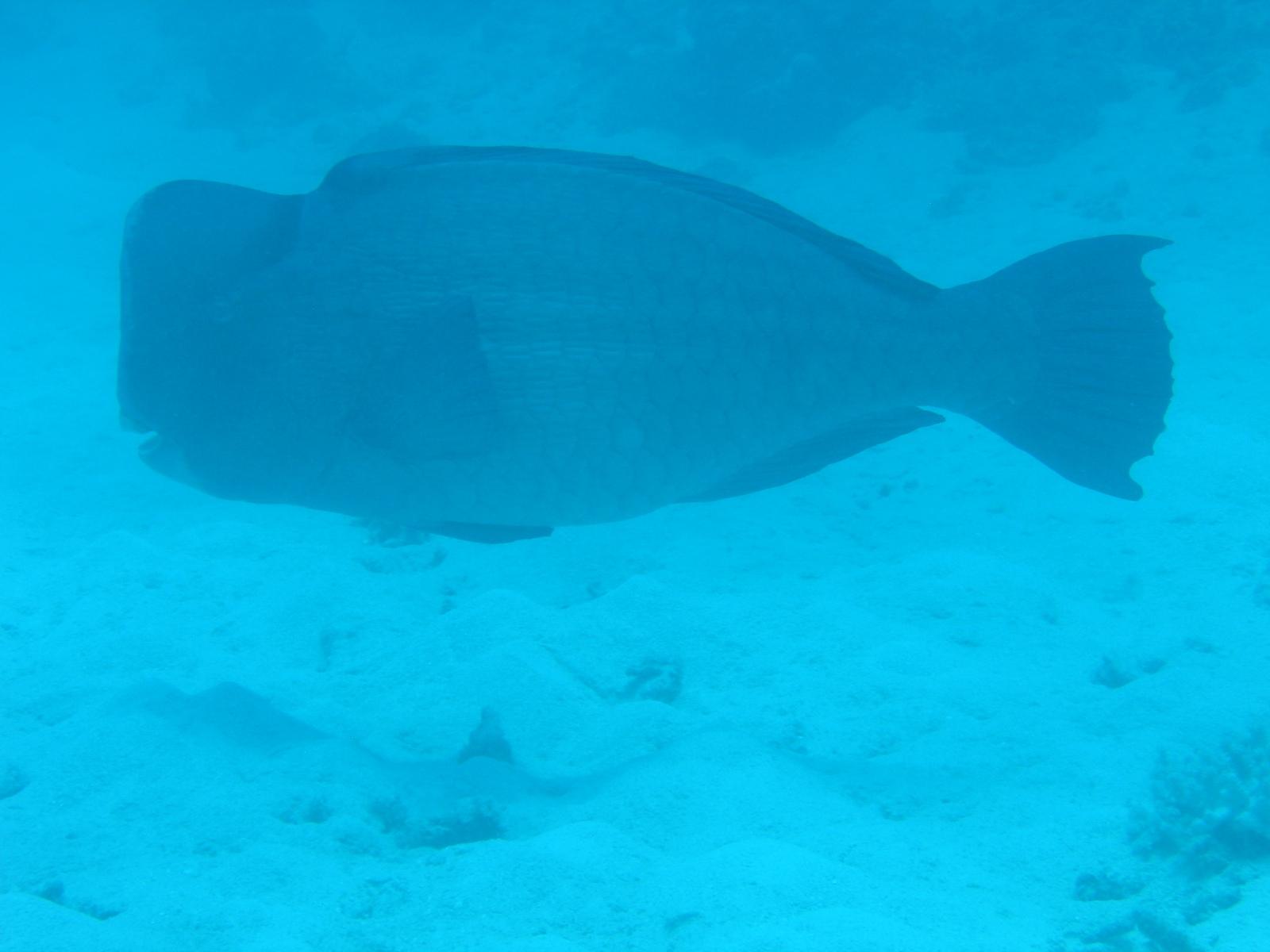 Moore Reef - Büffelkopf-Papageienfisch