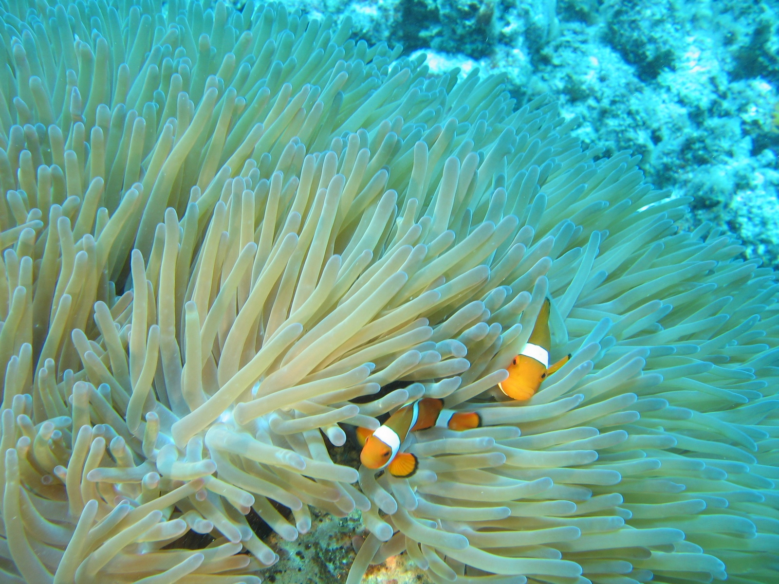 Moore Reef - Clownsfische in Anemone