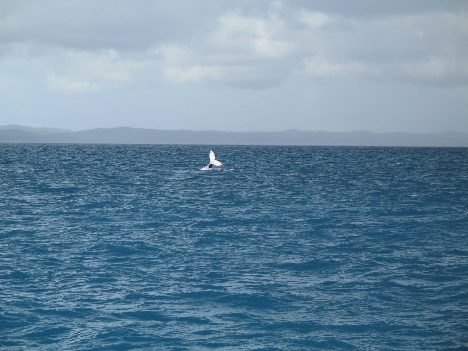 Whalewatching vor Hervey Bay