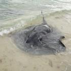 Schwarzer Stechrochen am Strand der Hamelin Bay