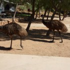 Emus auf dem Lighthouse Caravan Park Exmouth