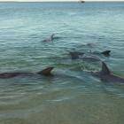 Delphinfütterung in Monkey Mia
