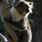 Koala im Yanchep National Park