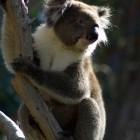 Koala im Yanchep National Park