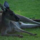 Känguru im Yanchep National Park