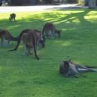 Kängurus im Yanchep National Park