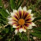 Blume am Strand von Lancelin