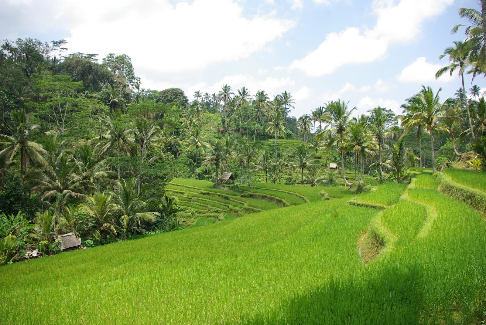 Reisfelder im Landesinneren
