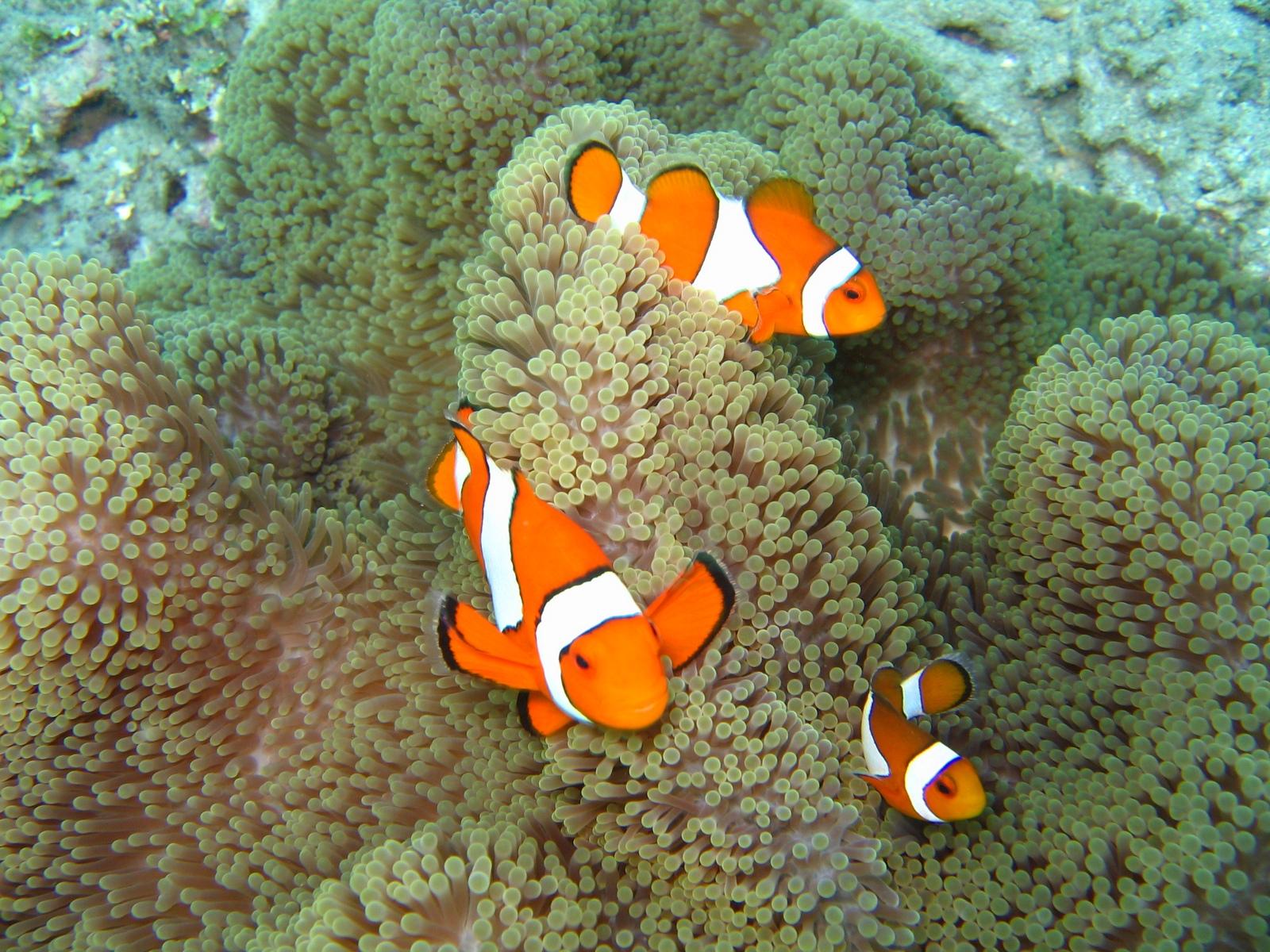 Falsche Clownsfische in Teppichanemone