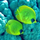 Masken-Falterfische